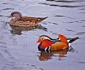 Качка мандаринка - загальновизнана красуня серед птахів: опис і фото