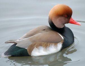 Kačica kačica - druh jedného z najzaujímavejších vtákov na svete