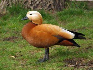 Kačica ohnivá alebo červená kačica: opis druhu a obsahu