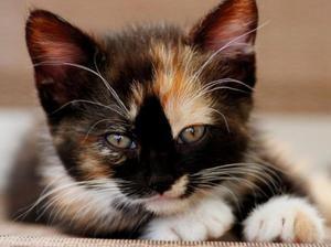 Триколірні кішки - які вони бувають