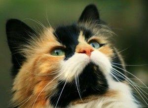 Кішки і коти триколірні - чому коти рідкість?