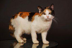 Черепахові (триколірні) кішки - особливості забарвлення