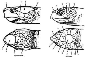 Розташування щитків на голові у черепах - різні види