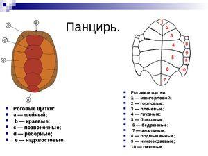 Рогові щитки у черепахи - де розташовані