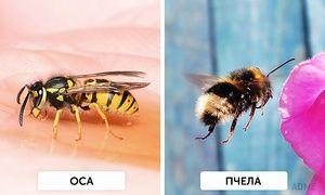 Aké sú rozdiely medzi včelami a osami