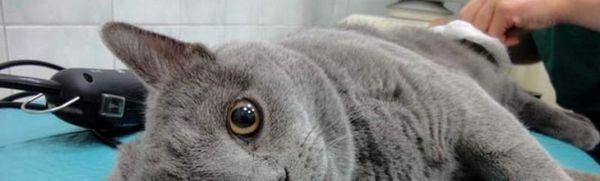 V akom veku sú mačky kastrované a aké sú dôsledky kastrácie?