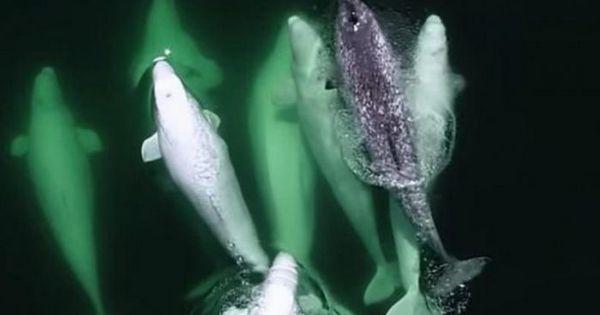Нарвала прихистила зграя китів