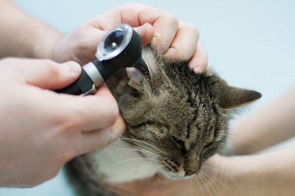 Перевірка вух ветеринаром