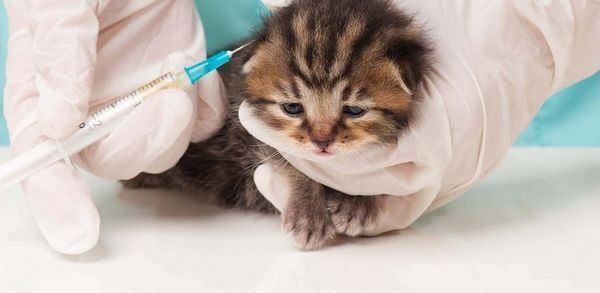 щеплення кошеняті