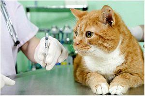 Vakcína proti besnote pre mačky a mačky: správna vakcína