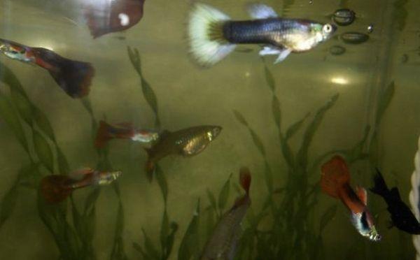 Рибки в акваріумі з валлиснерией