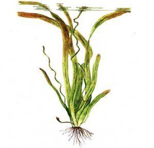 Vallisneria neotropicalis