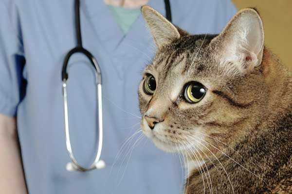 Vaskulitída u mačiek: príčiny, typy a liečba