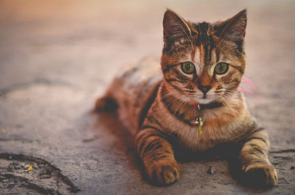 Кішка забарвлення табби