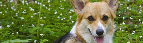 Welsh corgi - popis plemena, starostlivosť a údržba psa