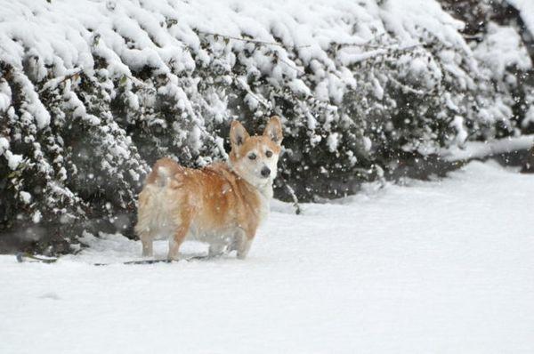 вельш-коргі в снігу
