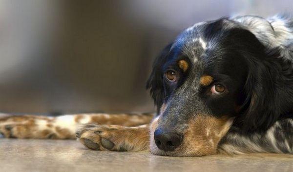 Pohlavný sarkóm u psov: vlastnosti choroby, ako aj metódy diagnostiky, liečby a preventívne odporúčania