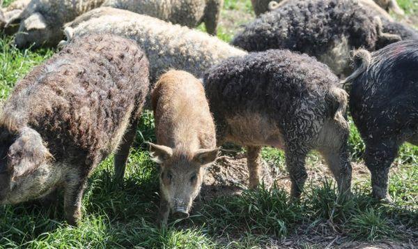 стадо свиней породи угорська мангалица