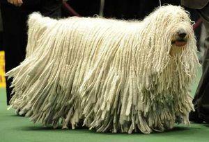Maďarský pes commander, jeho vlastnosti