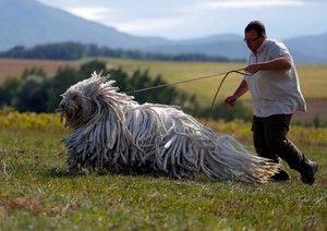 Характер собаки пооди Командор