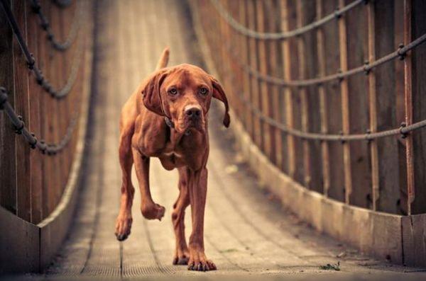 На відміну від вулиці, в будинку собака поводиться тихо і непомітно. Угорська вижла підкуповує своїм спокійним і поступливим характером