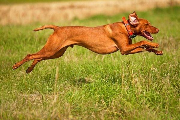 Хороша мисливська собака повинна бути швидкою, моторної і активною. На вулиці вижла ні хвилини не сидить без діла, весь вільний час вона намагається присвятити фізичним вправам
