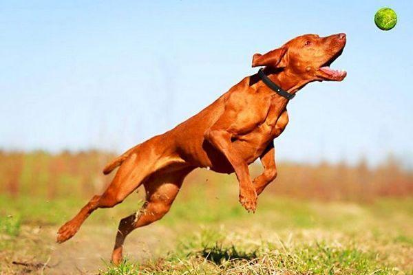 Собака просто обожнює активний дозвілля: спільні пробіжки, спортивні ігри та вправи для неї будуть краще будь-яких ласощів. Пес буде радий тривалих прогулянок по лісі, купання у водоймі