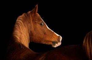 Верхова кінь арабської породи: опис, утримання та догляд