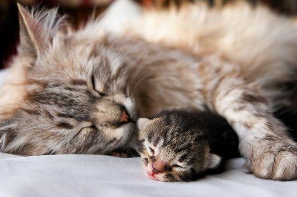 Кішка і кошеня