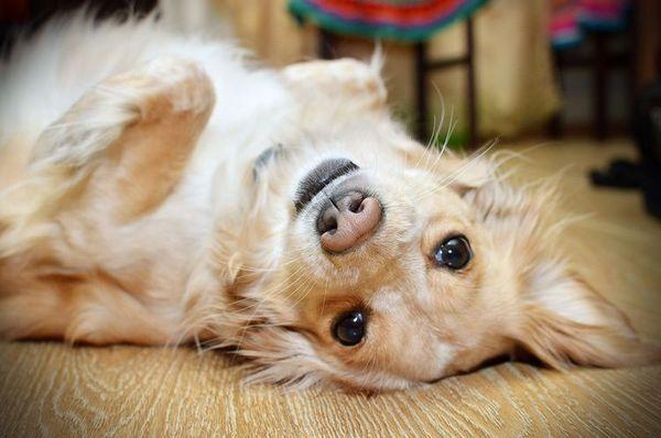 Vestibulárny syndróm u psov: príznaky a liečba