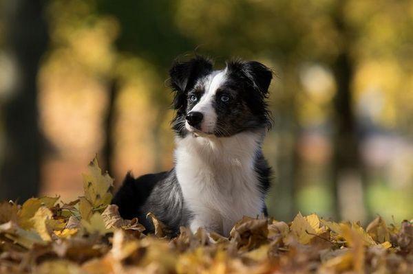 Собака в листі