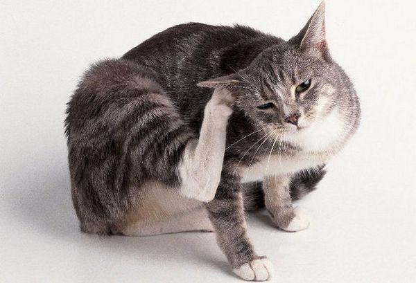 Блохи у кішки
