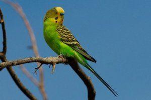 Ktoré vetvy stromu možno dať papagájom