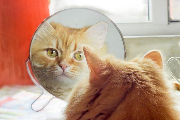 Vidia sa mačky v zrkadle?
