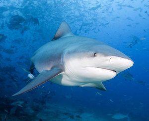 акула біла