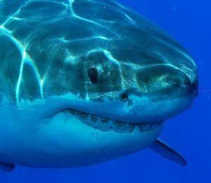 акула-бик