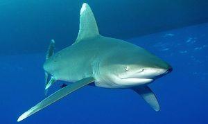 акула довгокрилі