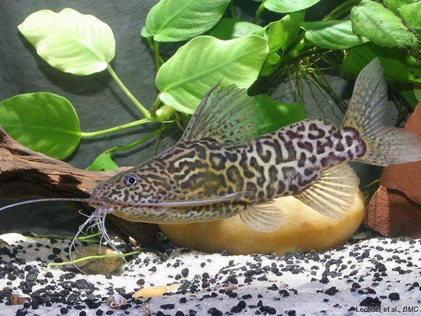 Сом-перевертень в домашньому акваріумі