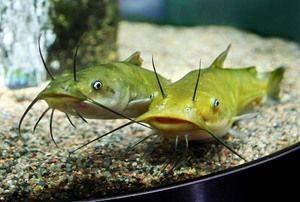 Здоров`я акваріумних сомиків
