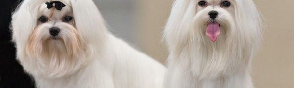 Typy lapdogov: charakter, údržba a starostlivosť