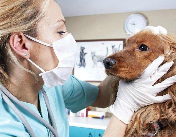 Typy hematómov u psov, domáca prvá pomoc a ošetrenie