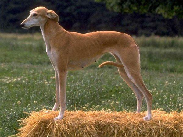 худа собака
