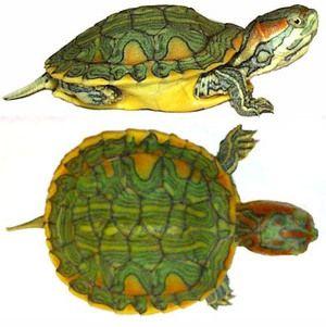Druhy a vlastnosti suchozemských korytnačiek