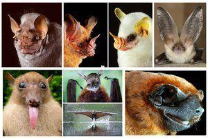Основні види кажанів
