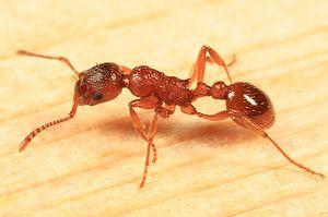 Ant Myrmica Red