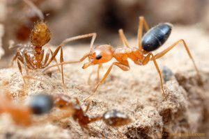 Mravce asijske