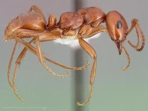 Amazonský ant