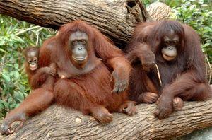 Druhy opíc s menami, charakteristika každého plemena