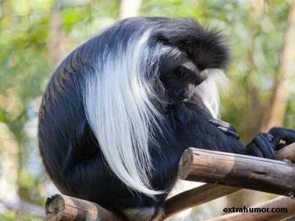 Чорно-білий колобус