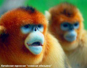 Характеристики порід мавп